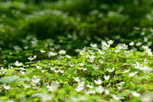 Oxalis Articulata Or Acetosell...