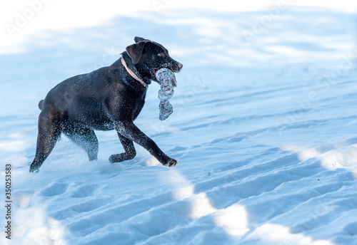 Vászonkép dark brown labrador retriever playing in snow
