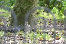 Pigeon And Squirrel By Tree In...