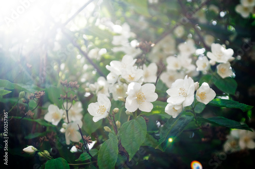Photo Jasmine bush in bloom with sunbeams and bokeh