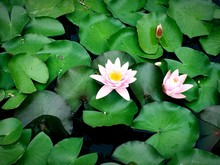 High Angle View Of Pink Water Lilies And Leaves On Pond