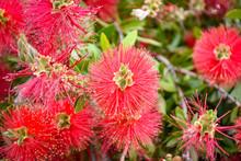 Red Brush Flower Callistemon C...