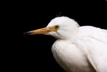 Young Snowy Egret Isolated Against Black.