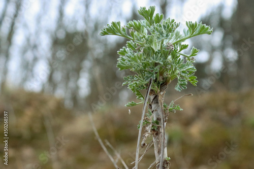 Photo Small artemisia in the forest