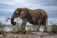 An Elephant Eats Vegetation In The Brush Near The Halali Camp