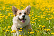 Welsh Corgi In The Field On A ...