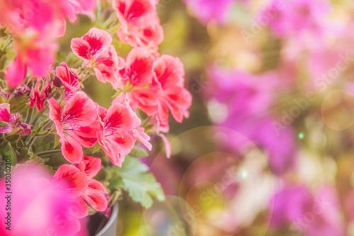 Fototapeta Balcony flowers, small garden with blossom of geranium obraz