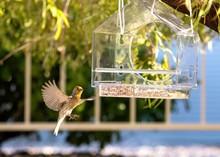 Desert Bird In Flight - House Finch 2