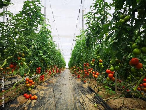 Valokuva Cultivo de tomate en invernadero