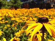 Black-eyed Susan Flowers Field