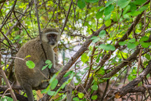 Velvet Monkey, Mother With Baby Sitting On A Branch And She Looking To The Camera