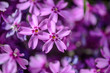 canvas print picture - beautiful purple flowers with dew drops on petals in sunshine, close view