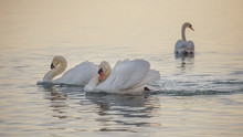 Swans On The Lake. Three White...