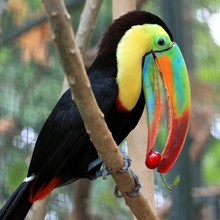 Toucan Eating Cherry While Perching On Tree