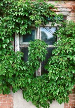 Old Wooden Window, Overgrown W...