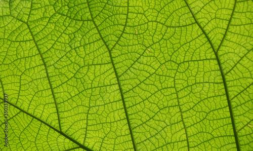 Fototapeta Extreme close up texture of green leaf veins obraz