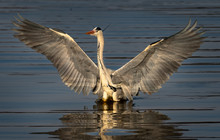 Grey Heron In Morning Light With Wings Open In The Kruger National Park South Africa