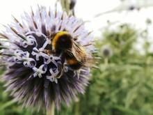 Close-up Of Bumblebee Perching...