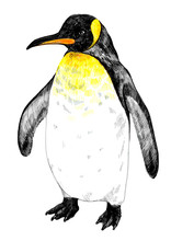 King Penguin. The Adult.
