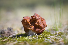 Red Wrinkled Morel Mushroom Ha...
