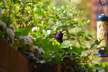 Bright Orange Yellow Beak And Eye Ring Make Male Blackbird One Of Most Striking British Garden Birds. The Dark Brown Adult Bird Has Lighter Streaks On The Breast Glossy Black Plumage And Blackish Legs