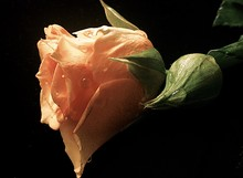 Close-up Of Coral Colored Rose With Dew Drops Against Black Background