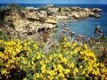 Gorse Flowers Growing At Seaside