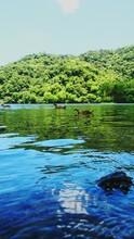 Ducks On Lake Against Lush Foliage