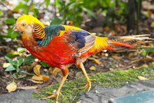 Male Golden Pheasant (Chrysolophus Pictus)