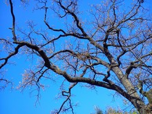 Dry Tree Against The Blue Sky. Dark Silhouette. Sunny Late Autumn In Serbia. The Plant Dropped Leaves
