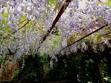 Low Angle View Of Wisteria Flo...