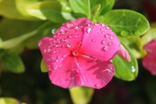 Close-up Of Water Drops On Pink Periwinkle
