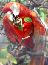 Close-up Of Scarlet Macaw Perching On Tree