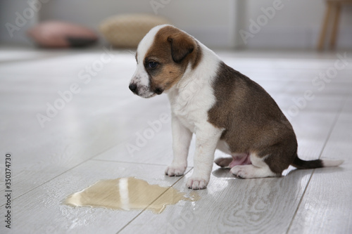 Obraz Adorable puppy near puddle on floor indoors - fototapety do salonu
