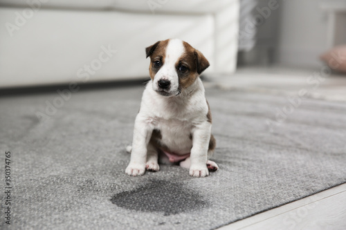 Obraz Adorable puppy near wet spot on carpet indoors - fototapety do salonu