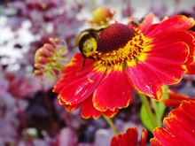 Close-up Of Bumblebee On Red Flower