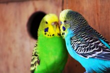 Parakeets In Cage
