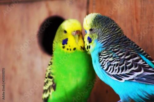 Carta da parati Parakeets In Cage