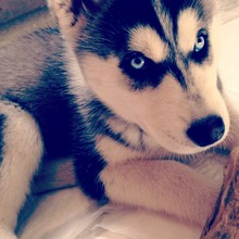 Close-up Of Siberian Husky Puppy At Home