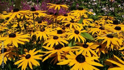 Fotografie, Tablou Black-eyed Susans Blooming On Field