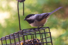 Close Up View Of A Black Capped Chickadee Perched On A Wire Suet Feeded In The Back Yard.