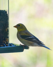 Female Goldfinch Perched At A Backyard Feeder Eating Bird Seed.  Background Blurry.