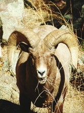 Close-up Portrait Of Bighorn Sheep On Field