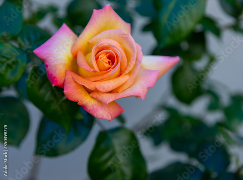Closeup photo of an pink and yellow rose set against a dark green leaf background. Golden hour lighting. Rose appears to float against the leafy background.