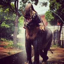 Elephant Splashing Water From Trunk In Zoorasia