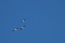 American White Pelicans Flying...