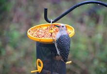 A Red-bellied Woodpecker Eatin...