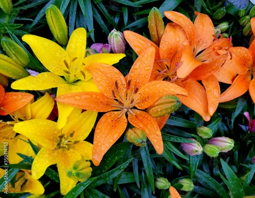 Orange and yellow Asiatic Lily flowers with raindrops