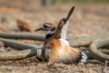 An Adult Killdeer, Either The ...