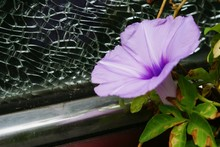 Close-up Of Purple Morning Glory Blooming Outdoors
